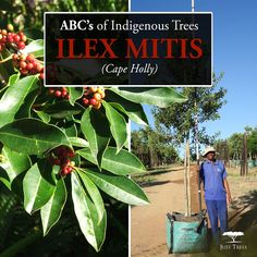 The Ilex mitis or Cape Holly can be found throughout South Africa with its attractive bark and red berries. This fast-growing evergreen tree also has beautiful small sweetly-scented white flowers.