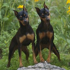 The miniature pinscher (also known as the min pin)