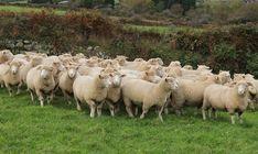 Dorset sheep for sale Dorset Sheep, Suffolk Sheep, Sheep For Sale, Pigs For Sale, Hampshire Sheep, Dorset Cottages, Jacob Sheep, Strongest Animal, Komondor