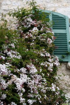 Flowers of Cote d'Azur - Sweetly scented jasmine, whose fragrance drifts across the air in the evenings and in through wooden shutters, adding its exotic fragrance to cool rooms.