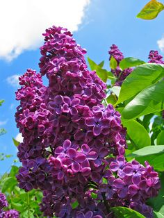 Flowering Shrubs, Trees And Shrubs, Love Flowers, Beautiful Flowers, Garden Art, Garden Plants, Lilac Plant, Flower Aesthetic, Lilacs
