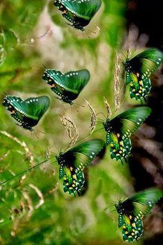 Beauty of green wings! Green Butterfly, Butterfly Flowers, Butterfly Artwork, Morpho Butterfly, Blue Morpho, Butterfly Pictures, Butterfly House, Beautiful Bugs, Beautiful Butterflies