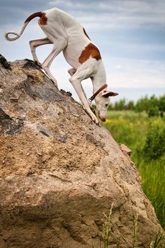Ibizan Hound dog stand on a rock