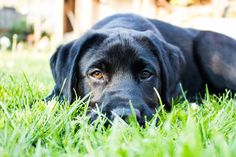 Boris, Labrador puppy van 17 week en een paar dagen. Lekker in het avondzonnetje