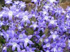 Cezayir menekşesi (Vinca majör), Zakkumgiller familyasinda yer alan  yer örtücü bahçe bitkidir. Yaprakları yaz kış dökülmez ve karşılıklı şekilde dizili bulunurlar. http://www.bitkiselyag.org/cezayir-meneksesivinca-major/
