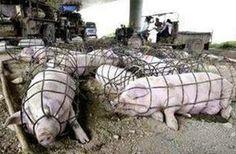 L'association de défense pour la cause animale américaine Mercy For Animals a réussi à infiltrer les bâtiments de l'un des plus gros producteurs de porcs de l'Iowa, Iowa Farms Select Kamrar. Les conditions d'élevage intensif sont tout bonnement impitoyables. Les porcs sont gardés dans des bâtiments surchargés, entassés les uns sur les autres et où … Continuer la lecture de Elevage porcin : la honte des Etats-Unis