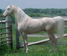 """""""Aura of Excellence"""" - cremello Saddlebred stallion"""