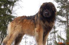 Fotos de o maior cão