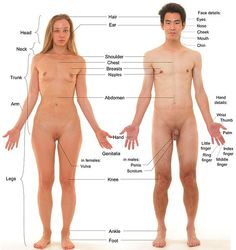 Anterior view of human female and male, with labels