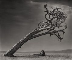 Lion Under Leaning Tree, Masai Mara 2008 Nick Brandt