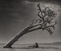Lion Under Leaning Tree, Masai Mara 2008 Nick Brandt