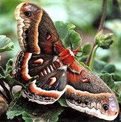 Cecropia Moth | Birds & Blooms With a wingspan that can reach 6 inches, it's the largest moth in North America. Still, the sizable cecropia often evades notice because it isn't active during the day. It's attracted to bright lights, however, & people often see it at night, perched on surfaces next to a light. It emerges from its cocoon when the weather gets warm, usually in late May or early June, and it lives for a brief week or two.