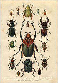 Inch Print - High quality prints (other products available) - Steel engraving different beetles - Image supplied by Fine Art Storehouse - Photograph printed in the USA Fine Art Prints, Framed Prints, Canvas Prints, Picture Frame Inspiration, Beetle Insect, Posters Vintage, Poster Size Prints, Illustrations, Original Artwork