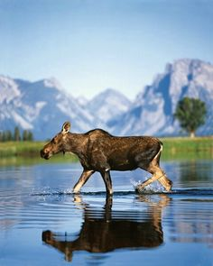 Moose:  Snake River, Grand Teton National Park, Wyoming