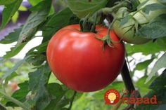 Tomato Pruning Pruning Tomatoes Like a Pro - Get the most out of your tomato plants this season with proper pruning. Help your tomato plant focus on growing large, juicy tomatoes! Growing Tomatoes From Seed, Growing Tomatoes In Containers, Grow Tomatoes, Baby Tomatoes, Cherry Tomatoes, Dried Tomatoes, Culture Tomate, Pruning Tomato Plants, Best Tasting Tomatoes