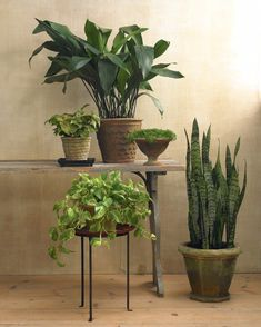 These classic houseplants are woody vines from the tropics, and it's best to contain them in small pots.  New varieties feature many different kinds of variegation. Although they don't need much light, they do require consistently moist soil.