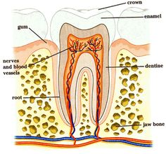 The structure of a tooth.