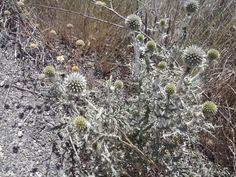 mala hierba muy linda, si sabes el nombre dímelo en info@portaljardin.com gracias