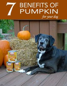 Benefits of Pumpkin for Dogs Pumpkin is not just a digestive superfood for dogs. Check out these other benefits too!Pumpkin is not just a digestive superfood for dogs. Check out these other benefits too! Dog Nutrition, Animal Nutrition, Nutrition Guide, Holistic Nutrition, Proper Nutrition, Healthy Nutrition, Pumpkin Benefits, Dog Pumpkin, Pumpkin For Puppies