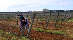 E' arrivato uno dei momenti più importanti per il ciclo vegetativo: la potatura della vigna.  Vuoi sapere come funziona?   www.carvinea.com/la-potatura-della-vigna/  #Carvinea