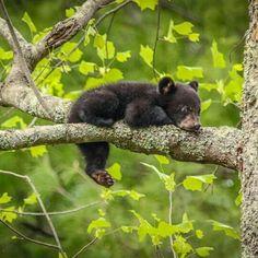 Black Bear Cub                                                                                                                                                                                 More