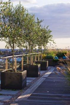 Designer: Charlotte Rowe, London: roof garden -wooden decking and containers planted with olive trees and views of london beyond. Clive Nichols.