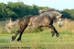 The Percheron is a breed of draft horse that originated in the Huisne river… All The Pretty Horses, Most Beautiful Horses, Rare Horses, Horses And Dogs, Big Horses, Akhal Teke, Percheron Horses, Andalusian Horse, Arabian Horses