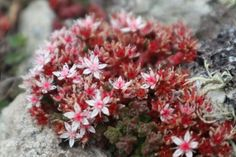 Stonecrop on a stone. Ouch my knees. Anglesey, Flora, Coast, Album, Stone, Plants, Rock, Rocks, Planters
