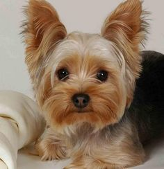 Yorkshire Terrier, also known as known as Yorkies, are a few other breeds as dogs to train a little harder. Yorkies, Yorkie Puppy, Perros Yorkshire Terrier, Yorkshire Terrier Haircut, Yorky Terrier, Terrier Dogs, Terrier Breeds, Pitbull Terrier, Hunting Dogs