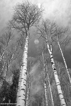 Birches are my favorite. <3