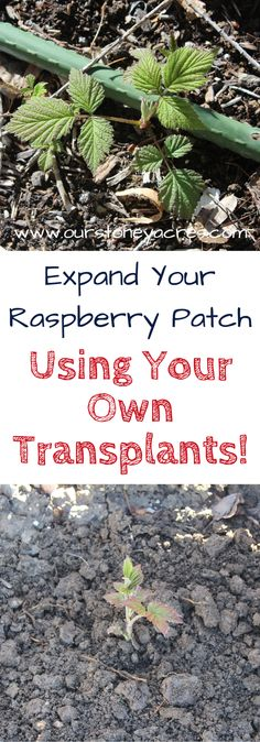 Transplanting Raspberries.  Expanding your raspberry patch using your own transplants is a fairly easy process. Transplanting Raspberries will save you time and money if you move transplants from your existing patch to start new patches or expand existing one.