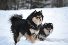 Nuppu & Modji Finnish Lapphunds
