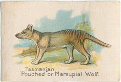 """Tasmanian """"Pouched"""" or Marsupial Wolf. From New York Public Library Digital Collections."""