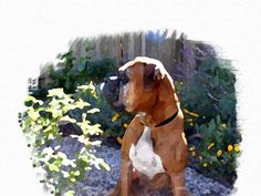 Who is Maggie? Boxer Rescue, Once In A Lifetime, Love Story, Dog Lovers, Bridge, Told You So, Animals, Animales, Bridge Pattern