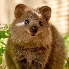 Quokka: [PHOTOS] This wildlife photographer's love for Quokka has made the animal an Instgaram famous star Cute Little Animals, Cute Funny Animals, Happy Animals, Animals And Pets, Beautiful Creatures, Animals Beautiful, Cutest Animals On Earth, Quokka, Animal 2