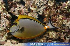 Indischer Gelbklingen Nasendoktor - Naso Elegans - Aquarientiere auf MasterFisch online kaufen Shopping, Types Of Animals, Animales