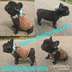 Conner Frenchton Male Puppy In Ewing Illinois Find Cute