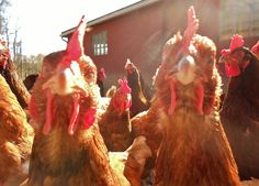 Chickens-I loved taking pics of my girls..too bad I had to get rid of them. :( mine were pets not for eating! Lol