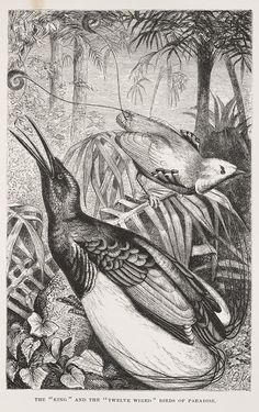 Birds of Paradise, plate from Alfred Russel Wallace's 1869 The Malay Archipelago