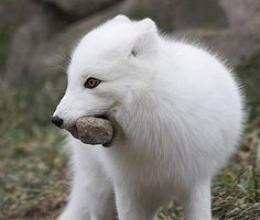 Snowy fox carrying a rock for some reason...love those eyes.