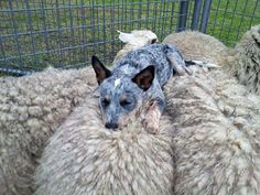 An Australian Blue Heeler goes to sleep on top of the flock it has herded. Description from pinterest.com. I searched for this on bing.com/images
