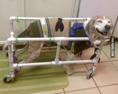 My dog recovering from back surgery. He is so happy, he loves his doggy cart