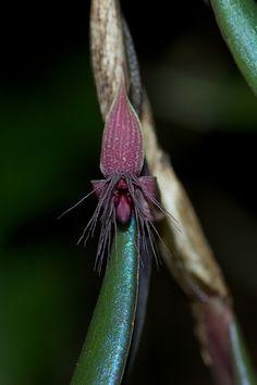 Bulbophyllum decatriche