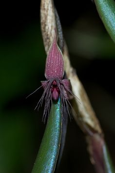 Bulbophyllum decatriche    Growing in the Maligan Virgin Forest Reserve, Sipitang District, Sabah
