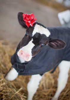 Check out this cute dairy cow!