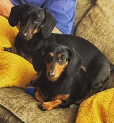 We're Jackson and Gemma from Long Island, New York. #dachshund