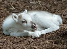 Lumi, a reindeer whose name means snow. Thanks to Zoo Borns (FB)