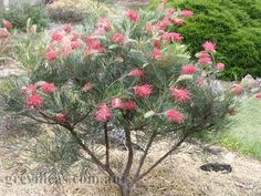 Grevillea Bonfire is a handsome shrub with coral red flowers and dark green fern like leaves. Also attracts birds and is a good screening plant. Australian Garden Design, Australian Native Garden, Australian Native Flowers, Australian Wildflowers, Balcony Plants, Garden Plants, Flowering Plants, African Plants, Bush Garden