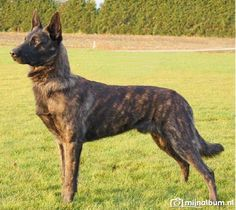 Dutch shepherd. - my future dog