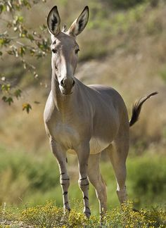 The Somali wild ass's powerful body, nimble legs, and keen senses are key to its survival in harsh habitats.